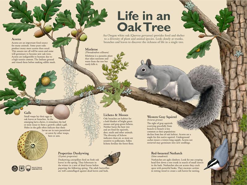 Life in the Oak Tree Interpretive Sign
