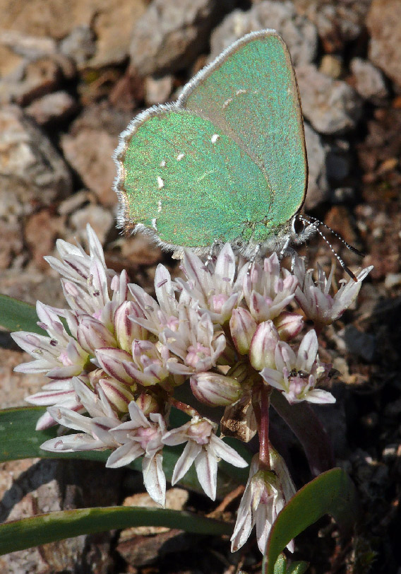 8723 Green Hairstreak