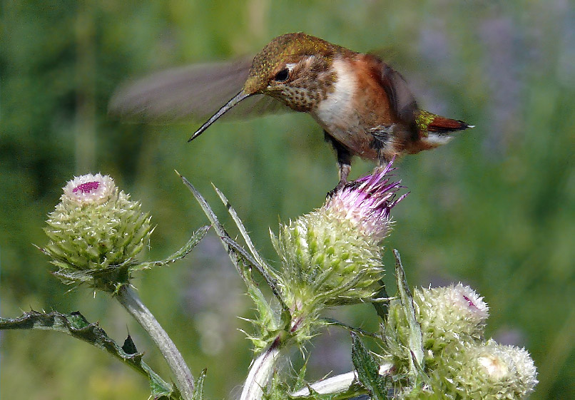 8106 Hummingbird on Thistle