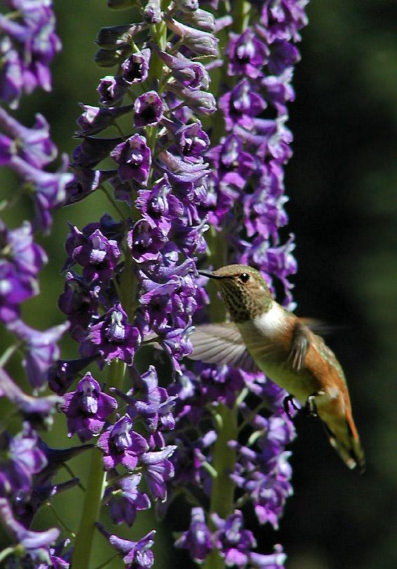 8102 Rufous Hummingbird