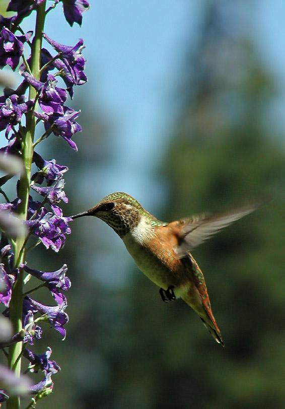 8103 Rufous Hummingbird