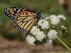 8719 Monarch