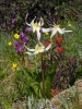 8814 Oregon Fawn Lily