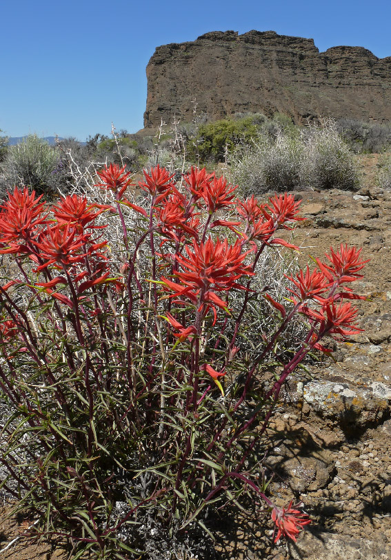 8913 Wyoming Indian Paintbrush
